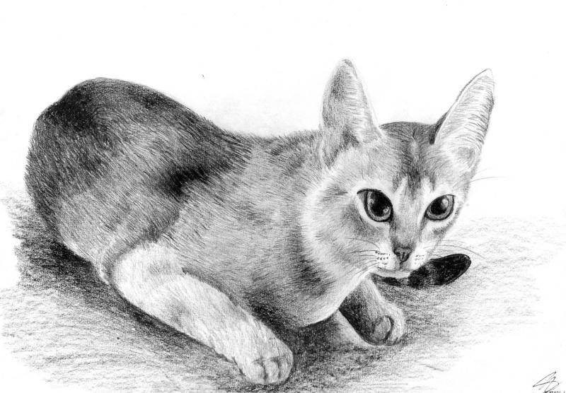 Abessinierkatze