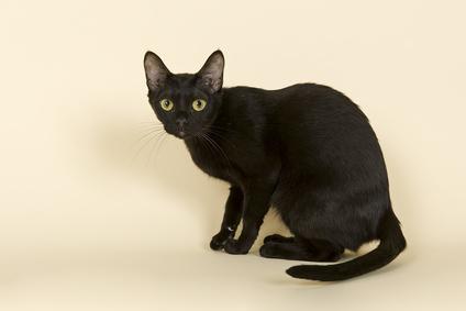 Burma Katze