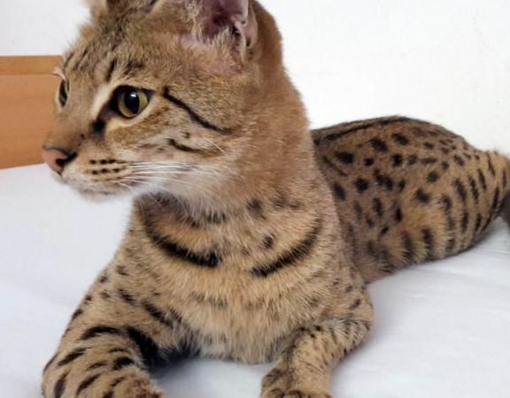 Savannah Katze