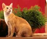 Ceylon Katze