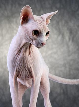 Sphynx-Katze