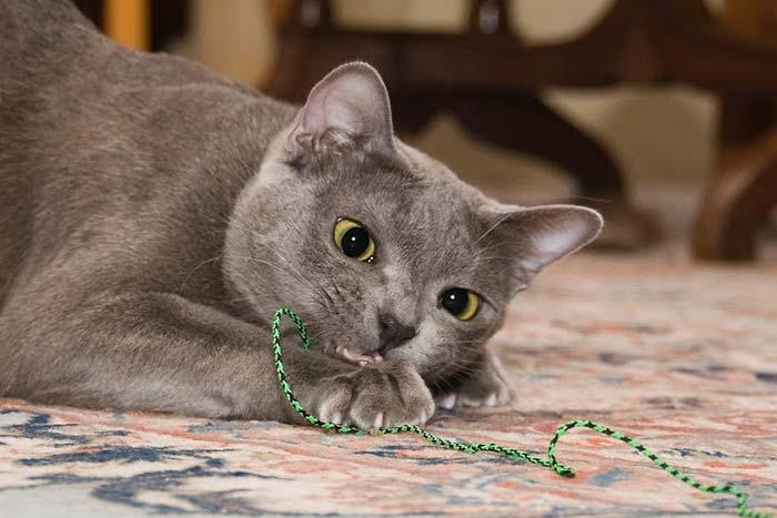 Korat-Labradorit Katzenzucht