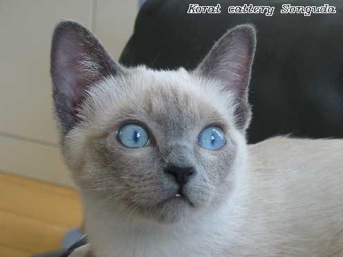 Die Korat Katze - Katzen Forum