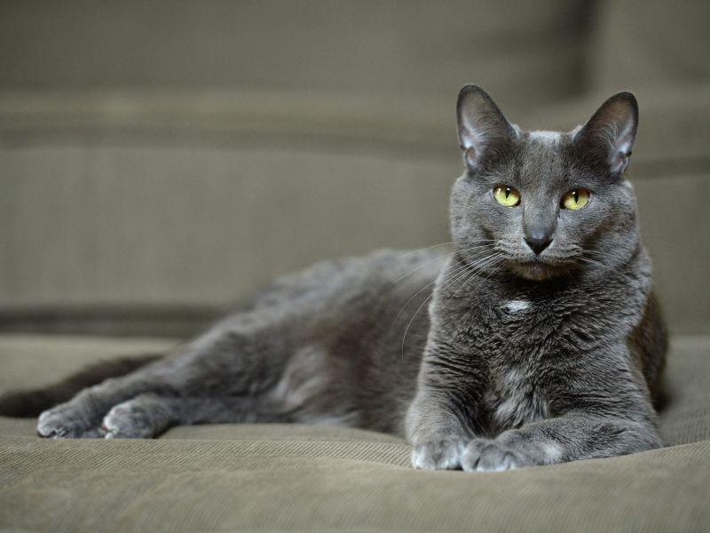 Korat-Katze: So ist ihr Charakter