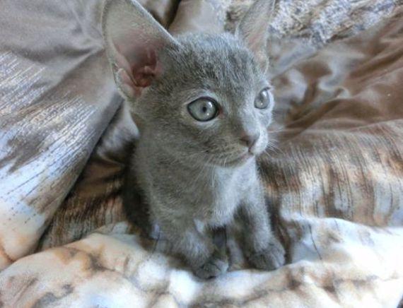 Korat-Labradorit Katzenzucht - Almuth Kaiser