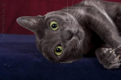 Rassevorstellung - die Korat - Katzen Forum