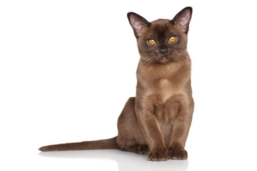 Burma Katze - Foto, Beschreibung von Rassen und Charakter
