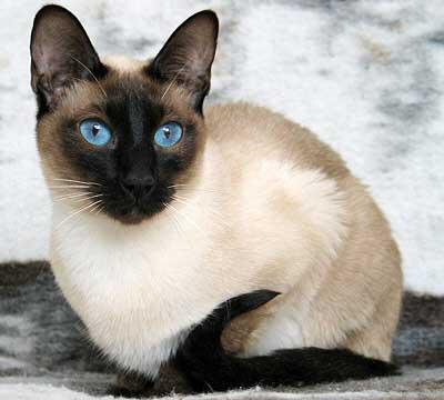 Javanese Katze